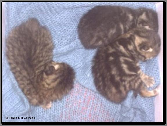 BALOU chaton mâle de quelques jours Lucky-chance-et-b...--co--01-224718d