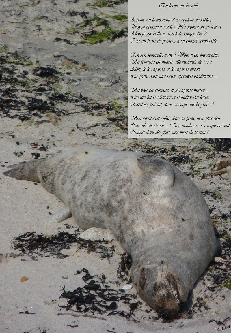Endormi sur le sable / / À peine on le discerne, il est couleur de sable ; / Voyez comme il sourit ! Ne croirait-on qu'il dort / Allongé sur le flanc, bercé de songes d'or ? / C'est un banc de poissons qu'il chasse, formidable, / / En son sommeil serein ? Vois, il est impeccable, / Sa fourrure est intacte, elle vaudrait de l'or ! / Alors, je le regarde, et le regarde encor, / Le grave dans mes yeux, spectacle inoubliable … / / Sa pose est curieuse, et je regarde mieux … / Lui qui fut le seigneur et le maître des lieux, / Est-il ici, présent, dans ce corps, sur la grève ? / / Son esprit s'est enfui, dans sa peau, non, plus rien / Ne subsiste de lui … Trop nombreux ceux qui crèvent / Noyés dans des filets, une mort de terrien ! / / Stellamaris