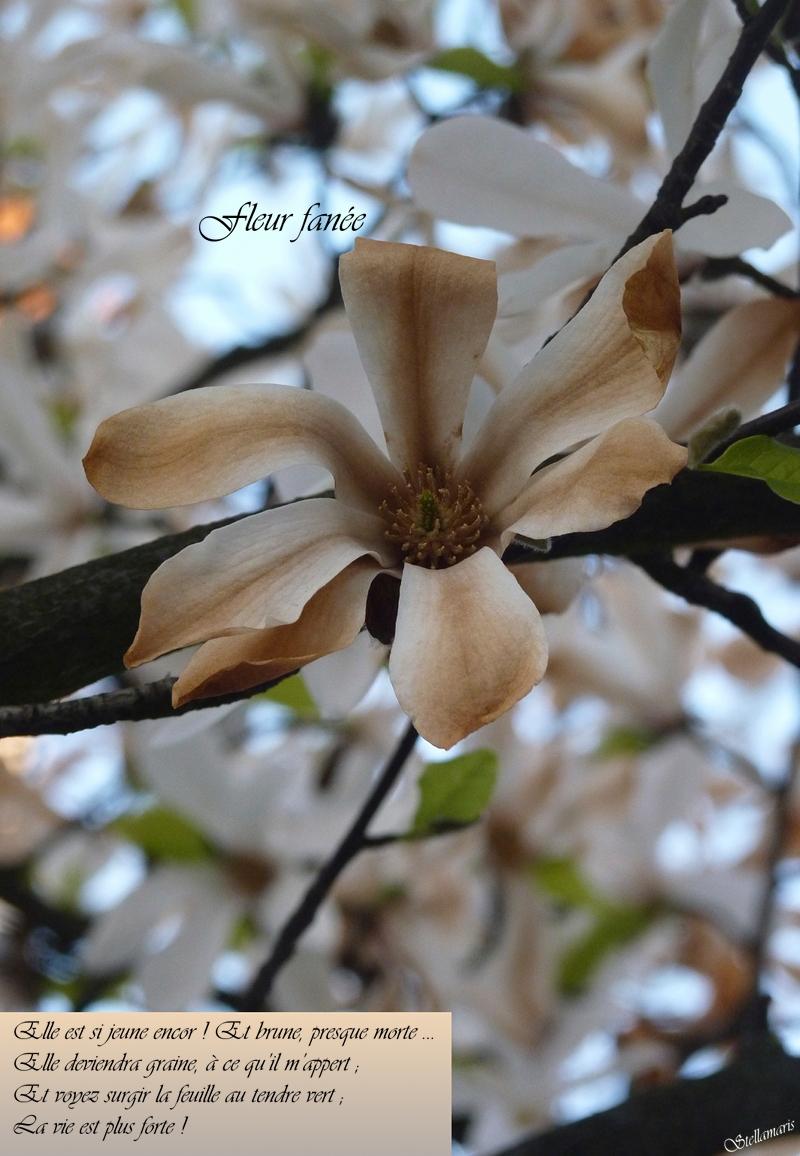 Fleur fanée / Elle est jeune encor ! Et brune, presque morte … / Elle deviendra graine, à ce qu'il m'appert ; / Et voyez surgir la feuille au tendre vert ; / La vie est plus forte ! / / Stellamaris